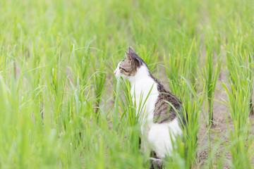 A cute cat in the rice field