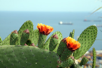 Flowering cactus on the coast of Barcelona