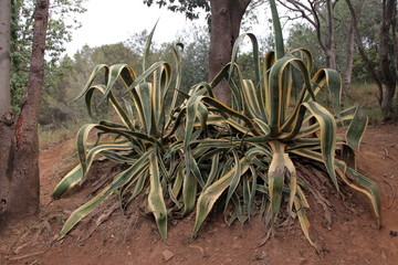 Agave plants in park, Barcelona