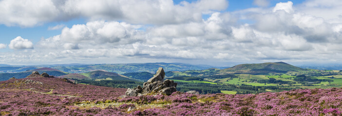 View from the Stiperstones to Corndon hill, with rock formations, and heather in flower, summer. Shropshire, UK.