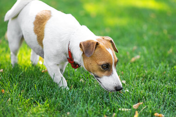 A small dog Jack Russell terrier walking and sniffing grass on green lawn at sunny day. Copy-space