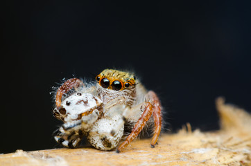 jumping spider eating a spider.