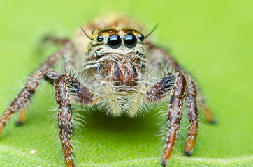 jumping spider cute on green leaves.