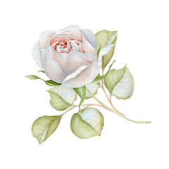 Hand drawn watercolor delicate white rose