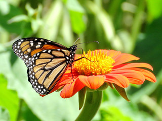 Toronto Lake Monarch butterfly on a red flower 2017