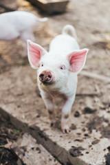 Cute White Piglet