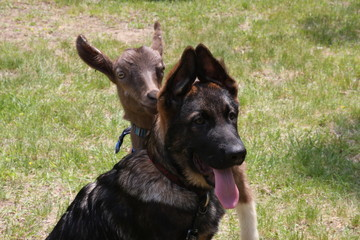 Cute German Shepherd Puppy and Baby Goat friend