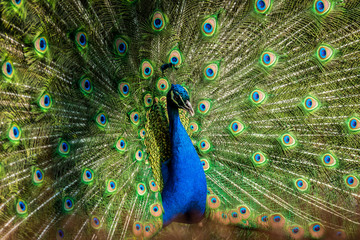 Male of Indian peafowl