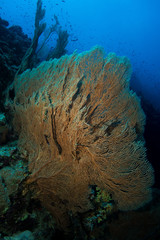 gorgonian coral in the red sea