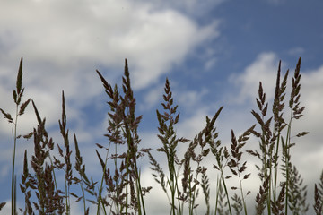 Switchgrass Against a Blue Sky with Crisp White Clouds