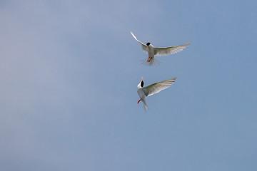 Fighting - Roseate Tern