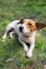 A Jack Russell dog.