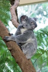 Portrait of Koala Standing on Tree Branch