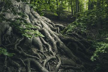 Alte Buche mit starken Wurzeln im Wald