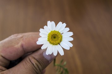 Natural chamomile flowers and benefits, smelling chamomile flowers, pictures of human sniffing flowers
