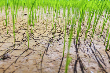 Rice fields of drought.