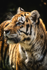 Tiger portrait angry predator watch on hunter wild nature