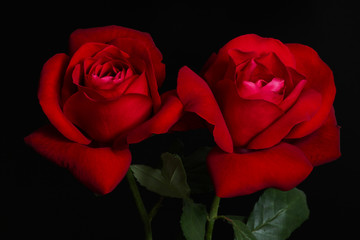 Two red roses on black background.