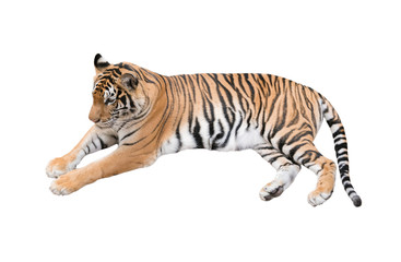 Fotobehang Tijger female bengal tiger isolated