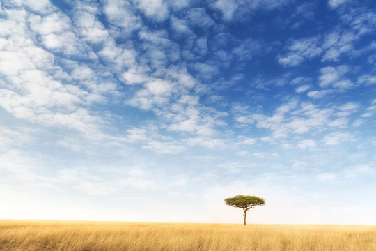 Lone acacia tree in the Masai Mara