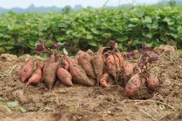 Harvesting Sweet potato at organic farm