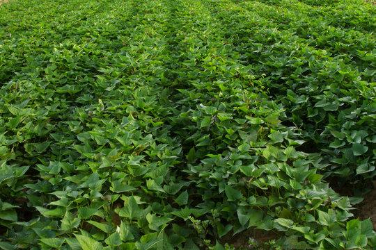 Sweet potato plant in row at organic farm