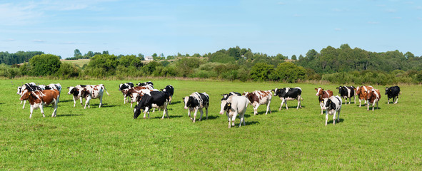 Spoed Foto op Canvas Koe Dairy cow in pasture. Panorama. Banner