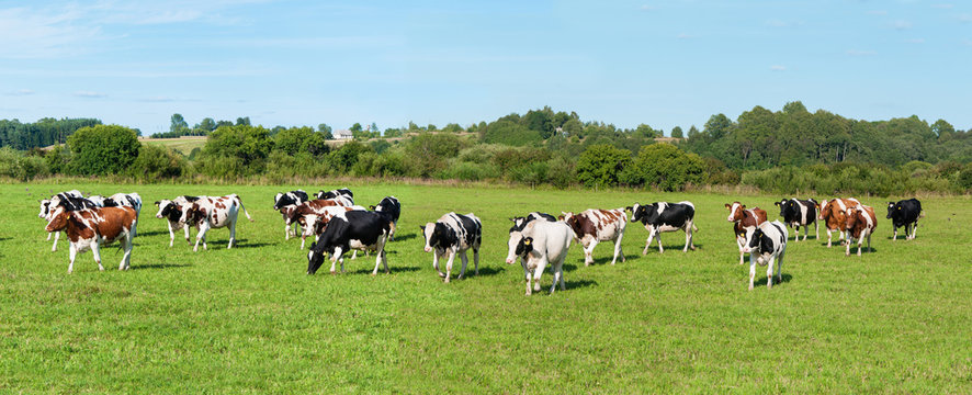 Dairy cow in pasture. Panorama. Banner