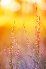 Autumn design floral nature background In warm seasonal colors. Meadow grass in the rays of autumn sun