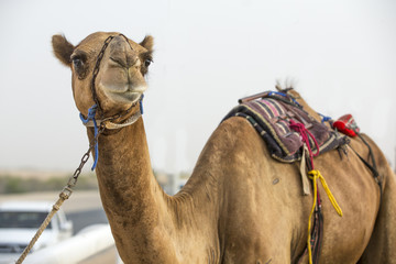camel at a race track in Rub Al Khali Desert in Abu Dhabi