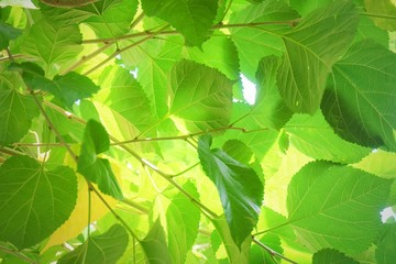 Mulberry Leaves or Morus Branch on Tree