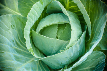 cabbage green close-up. Harvest