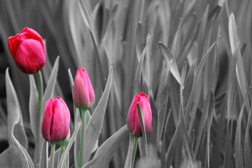 Pink tulips. Black and white photo
