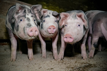 Kuriose Formation - drei Mastschweine in einem alten Schweinestall