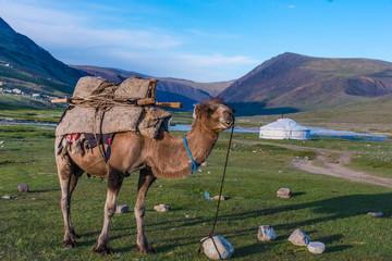 Kamel vor Ger Jurte im Altai Gebirge