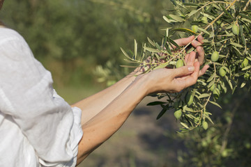 Young girl holding in hands fresh olive on the tree.