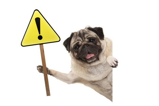 smiling pug puppy dog holding up yellow warning, attention sign with exclamation mark, isolated on white background