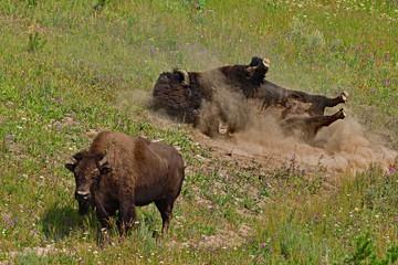 Bison Taking Sandbath