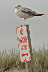 Seagull parked himself on the no parking board