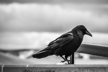 A ravem. waiting for his next meal from the Wyominmg planes.