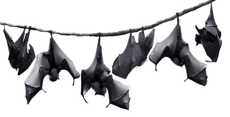 Colony of bats hanging on vines isolated in white background