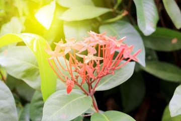Ixora Red spike flower. King Ixora blooming (Ixora chinensis).Ixora coccinea flower on tree in the garden. Nice summer red flower background.