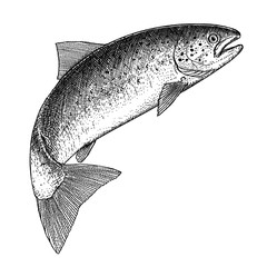 Illustration of a jumping Atlantic Salmon in an etched style