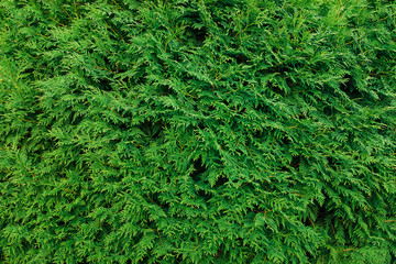 Green thuja leaves background, winter tree and christmas tree concept. Wall mural