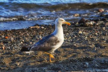 seagull walking along rocky beach in Spain