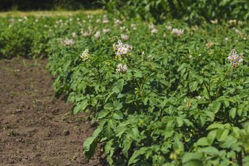 Green shrubs of potato on the field
