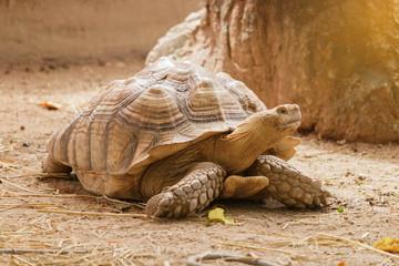 Sulcata tortoise is walking slowly.