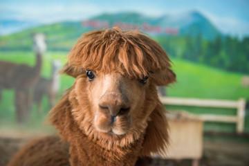 Poster Lama Close up of brown Alpaca