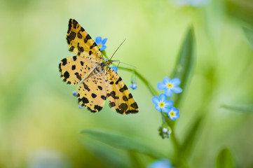Small speckled yellow european butterfly moth pseudopanthera macularia wild natural background