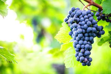 Weintrauben (reifen) Fototapete